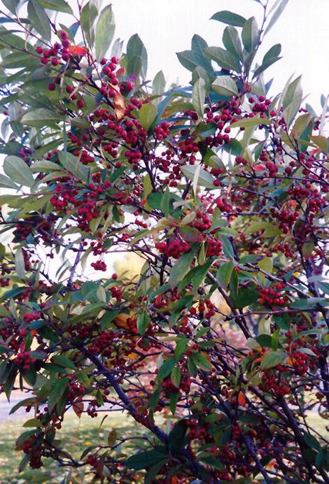 red chokeberry aronia arbutifolia at pasquesi home gardens - Pasquesi Home And Garden