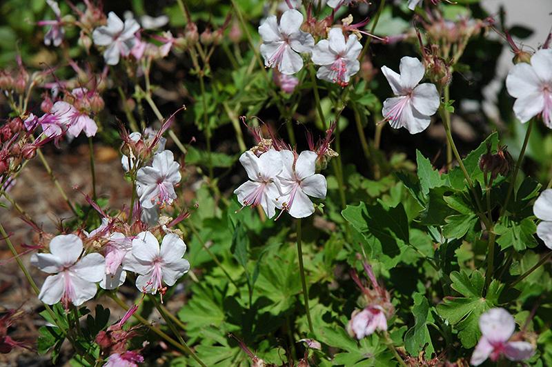 biokovo cranesbill geranium x cantabrigiense biokovo at pasquesi home gardens - Pasquesi Home And Garden