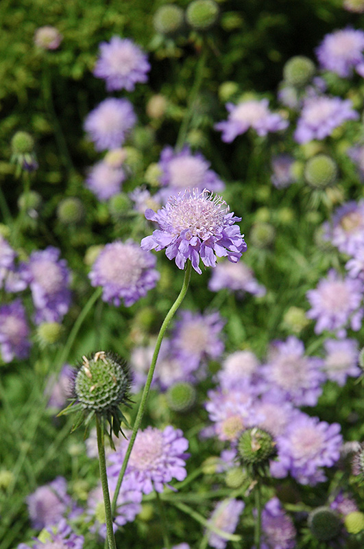 Blue Mist Pincushion Flower (Scabiosa U0027Blue Mistu0027) At Pasquesi Home U0026  Gardens