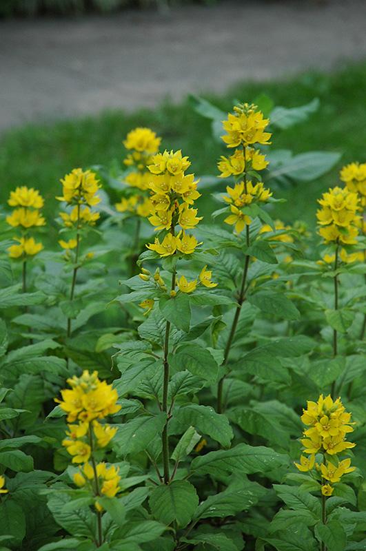 of yellow loosestrife lysimachia punctata at pasquesi home gardens - Pasquesi Home And Garden