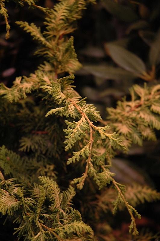 fernspray gold falsecypress chamaecyparis obtusa fernspray gold at pasquesi home gardens - Pasquesi Home And Garden