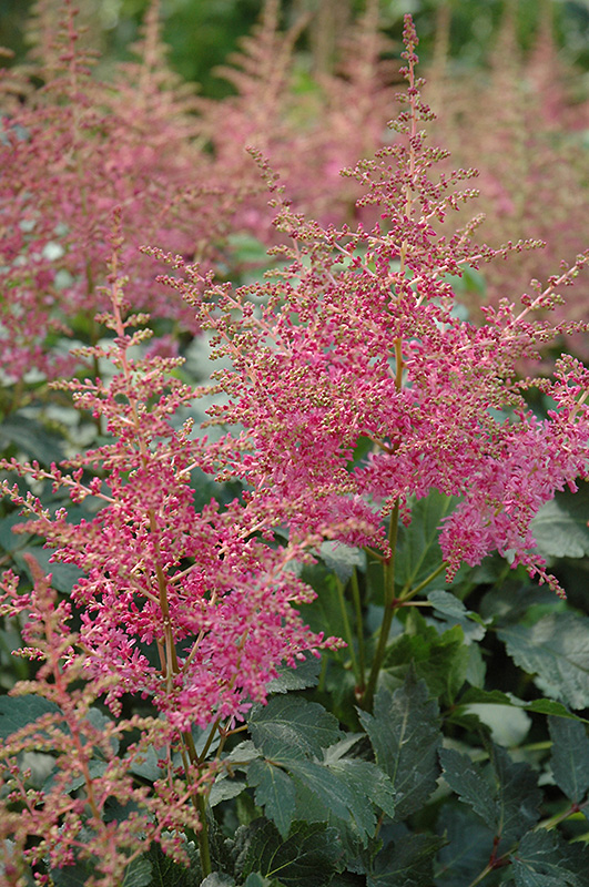 Rhythm And Beat Astilbe (Astilbe U0027Rhythm And Beatu0027) At Pasquesi Home U0026