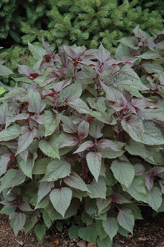 chocolate boneset eupatorium rugosum chocolate at pasquesi home gardens - Pasquesi Home And Garden