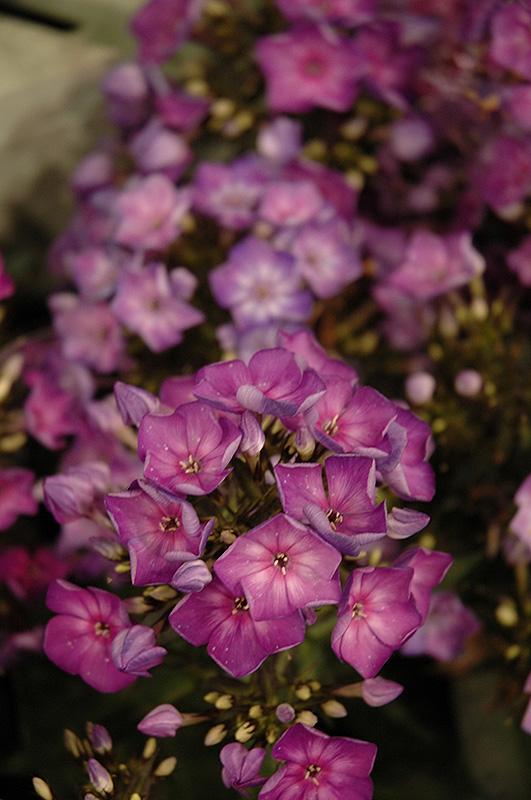 grape lollipop garden phlox phlox paniculata grape lollipop at pasquesi home - Pasquesi Home And Garden