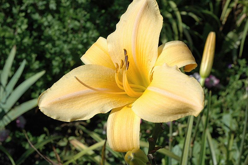 Apricot Beauty Daylily (Hemerocallis U0027Apricot Beautyu0027) At Pasquesi Home U0026  Gardens