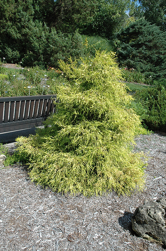 Lemon Thread Falsecypress (Chamaecyparis Pisifera U0027Lemon Threadu0027) At Pasquesi  Home U0026 Gardens