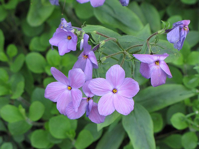 sherwood blue woodland phlox phlox stolonifera sherwood blue at pasquesi home - Pasquesi Home And Garden