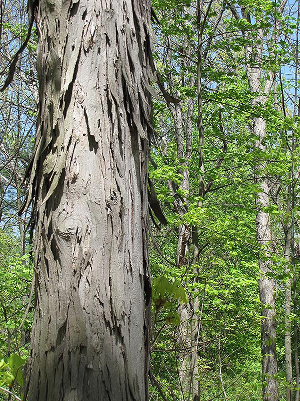 Shagbark Hickory (Carya ovata) in Lake Bluff Forest Libertyville ...