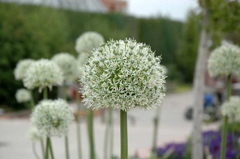 mount everest ornamental onion allium mount everest at pasquesi home gardens - Pasquesi Home And Garden