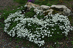 Candytuft (Iberis sempervirens) at Pasquesi Home & Gardens