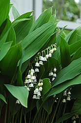 Lily-Of-The-Valley (Convallaria majalis) at Pasquesi Home & Gardens