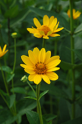 False Sunflower (Heliopsis helianthoides) at Pasquesi Home & Gardens