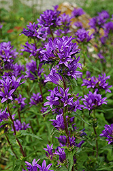 Clustered Bellflower (Campanula glomerata) at Pasquesi Home & Gardens
