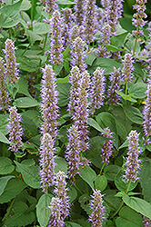 Blue Fortune Anise Hyssop (Agastache 'Blue Fortune') at Pasquesi Home & Gardens