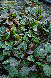Bronze Beauty Bugleweed (Ajuga reptans 'Bronze Beauty') at Pasquesi Home & Gardens