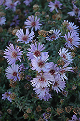 Woods Blue Aster (Aster 'Woods Blue') at Pasquesi Home & Gardens