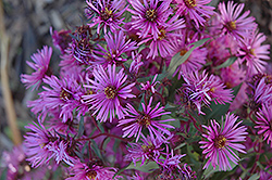 Woods Pink Aster (Aster 'Woods Pink') at Pasquesi Home & Gardens