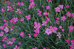 Maiden Pinks (Dianthus deltoides) at Pasquesi Home & Gardens