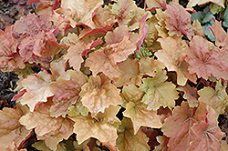 Dolce® Creme Brulee Coral Bells (Heuchera 'Tnheu041') at Pasquesi Home & Gardens