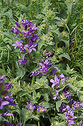 Joan Elliot Bellflower (Campanula glomerata 'Joan Elliot') at Pasquesi Home & Gardens