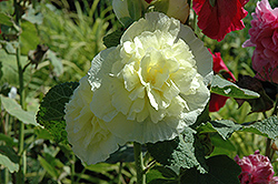 Chater's Double Yellow Hollyhock (Alcea rosea 'Chater's Double Yellow') at Pasquesi Home & Gardens