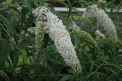 Petite Snow Butterfly Bush (Buddleia davidii 'Monite') at Pasquesi Home & Gardens