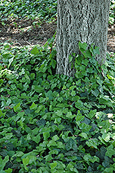 Baltic Ivy (Hedera helix 'Baltica') at Pasquesi Home & Gardens