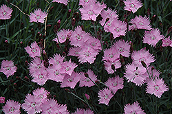 Bath's Pink Pinks (Dianthus 'Bath's Pink') at Pasquesi Home & Gardens