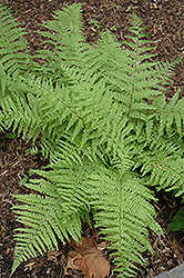 Tatting Fern (Athyrium filix-femina 'Frizelliae') at Pasquesi Home & Gardens