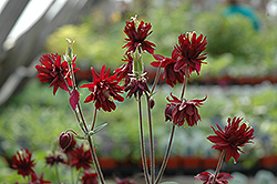 Ruby Port Double Columbine (Aquilegia vulgaris 'Ruby Port') at Pasquesi Home & Gardens