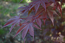 Moonfire Japanese Maple (Acer palmatum 'Moonfire') at Pasquesi Home & Gardens