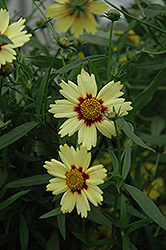 Red Shift Tickseed (Coreopsis 'Red Shift') at Pasquesi Home & Gardens