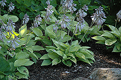 May Hosta (Hosta 'May') at Pasquesi Home & Gardens