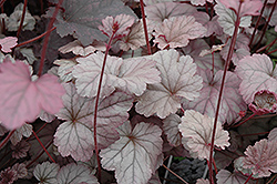Stainless Steel Coral Bells (Heuchera 'Stainless Steel') at Pasquesi Home & Gardens