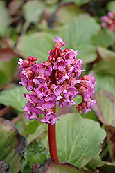 Heartleaf Bergenia (Bergenia cordifolia) at Pasquesi Home & Gardens