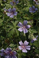 Brookside Cranesbill (Geranium 'Brookside') at Pasquesi Home & Gardens