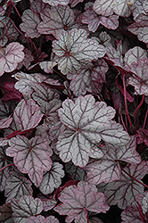 Sugar Plum Coral Bells (Heuchera 'Sugar Plum') at Pasquesi Home & Gardens
