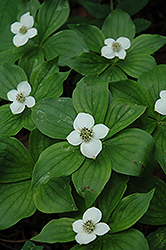 Bunchberry (Cornus canadensis) at Pasquesi Home & Gardens