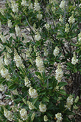 September Beauty Summersweet (Clethra alnifolia 'September Beauty') at Pasquesi Home & Gardens