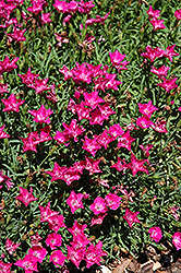 Love Doctor Pinks (Dianthus 'Love Doctor') at Pasquesi Home & Gardens