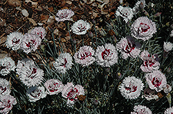 Silver Star Pinks (Dianthus 'Silver Star') at Pasquesi Home & Gardens