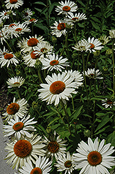 Fragrant Angel White Coneflower (Echinacea purpurea 'Fragrant Angel') at Pasquesi Home & Gardens