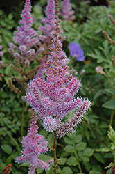 Purple Candles Astilbe (Astilbe chinensis 'Purple Candles') at Pasquesi Home & Gardens