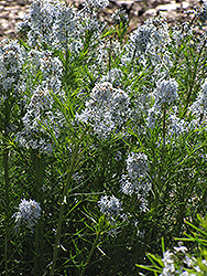 Narrow-Leaf Blue Star (Amsonia hubrichtii) at Pasquesi Home & Gardens