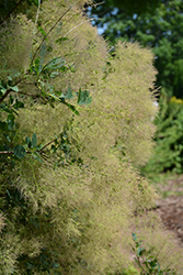 Young Lady Smokebush (Cotinus coggygria 'Young Lady') at Pasquesi Home & Gardens