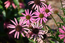 Rocky Top Coneflower (Echinacea tennesseensis 'Rocky Top') at Pasquesi Home & Gardens