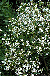 Festival™ Star Baby's Breath (Gypsophila paniculata 'Festival Star') at Pasquesi Home & Gardens