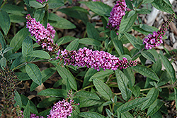 Lo And Behold® Pink Micro Chip Dwarf Butterfly Bush (Buddleia 'Lo And Behold Pink Micro Chip') at Pasquesi Home & Gardens
