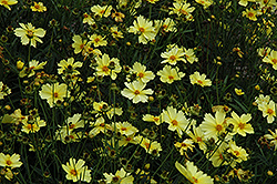 Full Moon Tickseed (Coreopsis 'Full Moon') at Pasquesi Home & Gardens