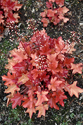Peach Flambe Coral Bells (Heuchera 'Peach Flambe') at Pasquesi Home & Gardens